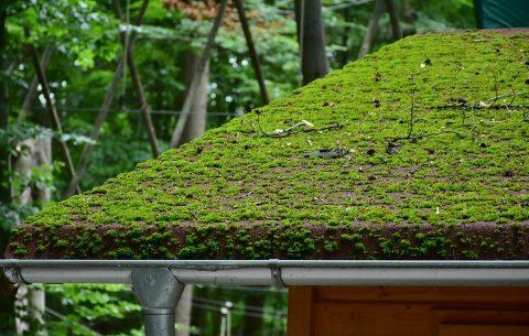 mousse sur un toit